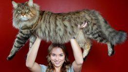 Na 17. a 18. Medzinárodnej výstave mačiek uvidíte aj najväčšiu mačku na svete