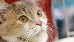 Medzinárodná výstava mačiek desiatykrát v Banskej Bystrici