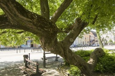 klaciaci strom polsko