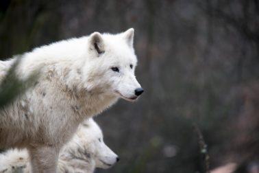 vlk biely