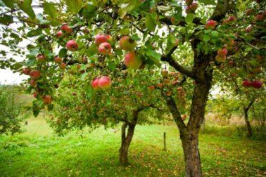 ovocny sad
