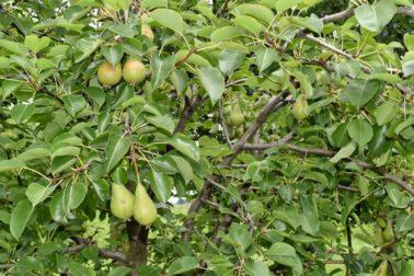 ovocny sad1