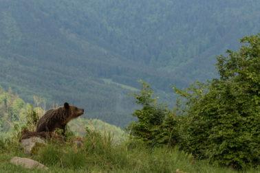 medved na polane