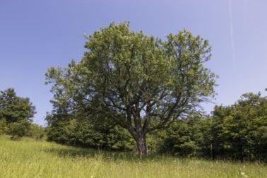 strom-roka-oskorusa