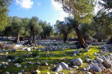olivovniky