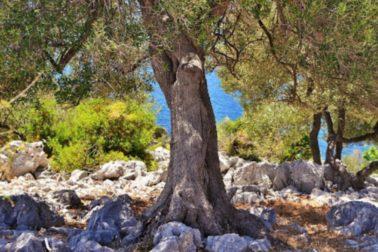 olivovniky1