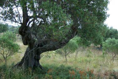 stary olivovnik