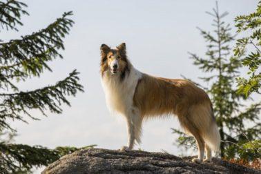 lassie-sa-vracia-01
