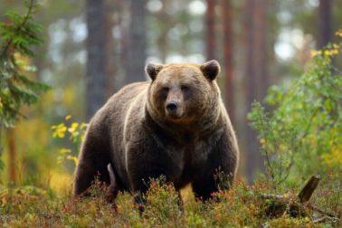 medved hnedy2