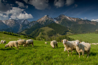 ovciarstvo