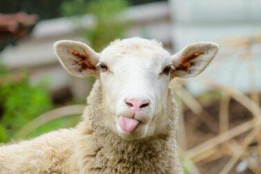 ovciarstvo1