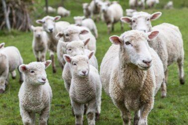 ovciarstvo2