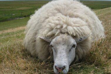 ovciarstvo3