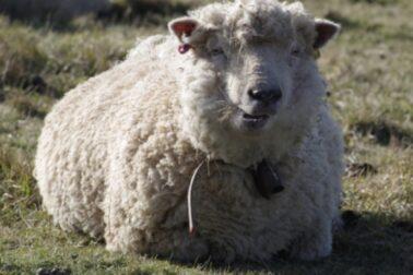 ovciarstvo4