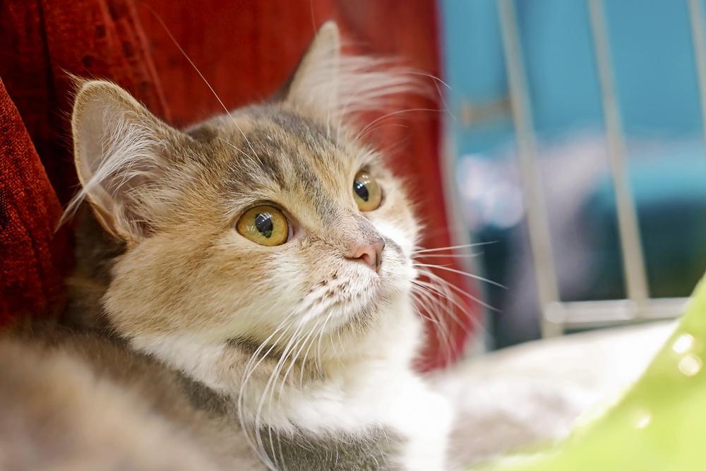 Medzinárodná výstava mačiek desiatykrát v Banskej Bystrici ... 4a12a4c255e