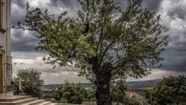 Európskym stromom roka 2019 je maďarský mandľovník, naša lipa z Kopčian ôsma