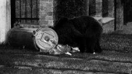 Po večernej ulici sa prechádza medveď, riešia to štátni ochranári