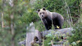 Čo s medveďom hnedým v slovenských horách či blízko obydlí po usmrtení človeka na Liptove?